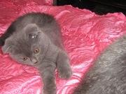 Британские котята ждут своего хозяина