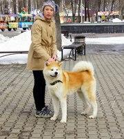 Шикарный щенок японской акиты