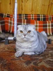 срочно шотландский котик ждет кошечку для вязки
